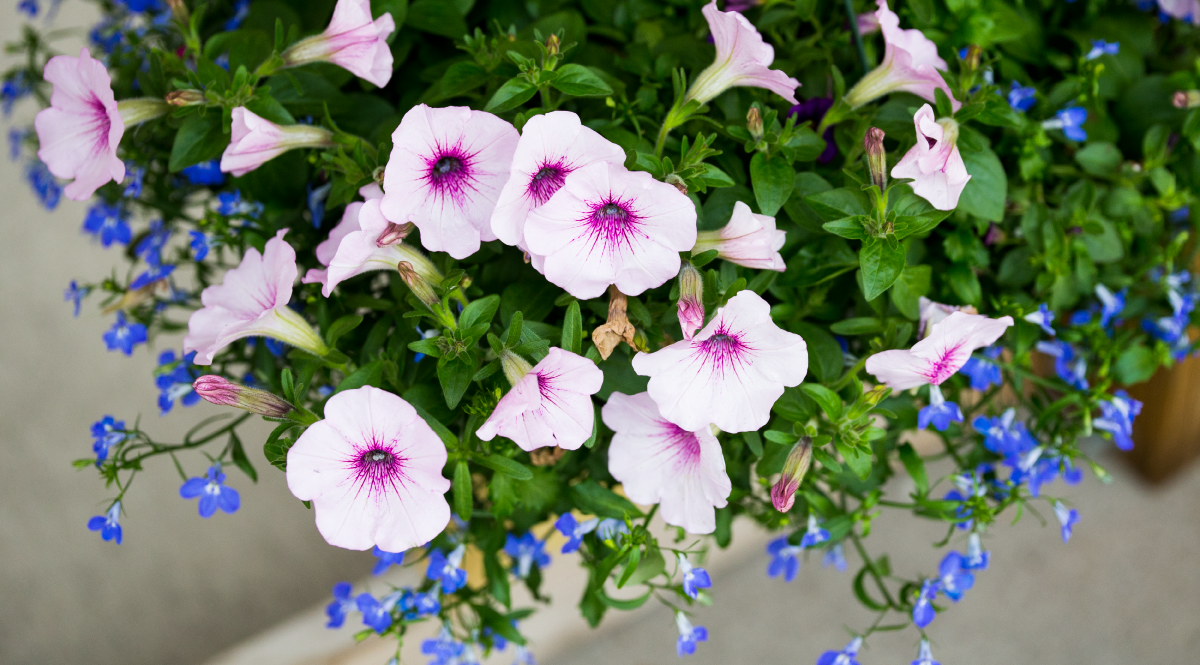 garden Center petunia Hanging Basket